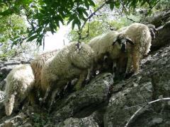 Pecorelle in scalata