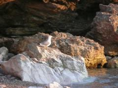 Gabbiano a San Vito Lo Capo sopra una roccia