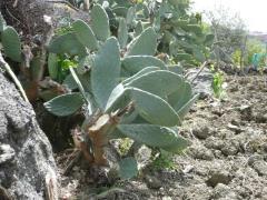 Sicilia: Fico Dindia in campagna a Maletto